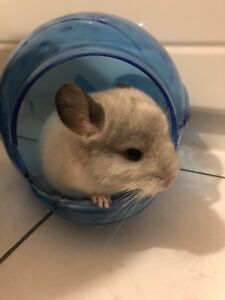 9 week old baby Chinchilla with cage and accessories