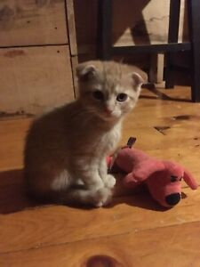 Purebred Scottish fold kittens 8 weeks !!