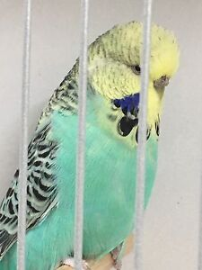 Quality budgies from show breeder reducing stud Camberwell Boroondara Area Preview