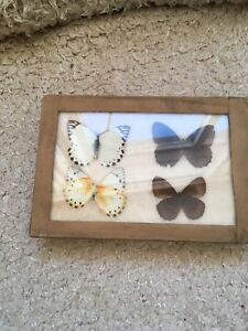 4 Butterfly/Moths 1940's in Display