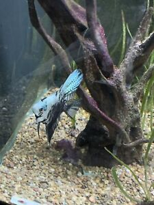 Mating pair- Philippine blue marble pearlscale line angelfish