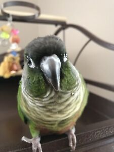 Green Cheek Maroon Bellied Conure