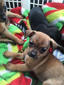Chihuahua pure