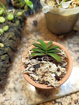 pianta Orchidea miniatura specie botanica rara schoenorchis fragrans