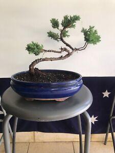 Medium Juniper Bonsai