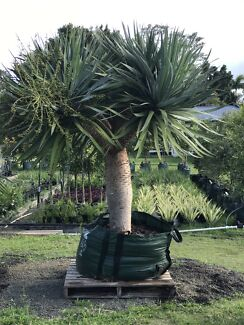 Advanced Dragon Trees! Dracaena Draco! Small and large specimens!