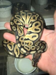 Ball pythons sale all must go