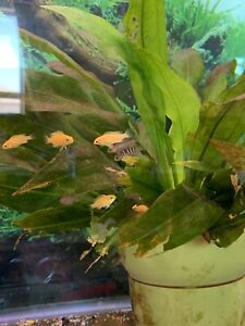 Cichlids for sale $5 each adult fish and $1 each yellow lab baby