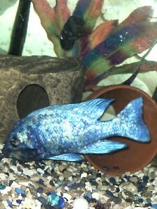 Star sapphire cichlids breed pair for sale - hard to find