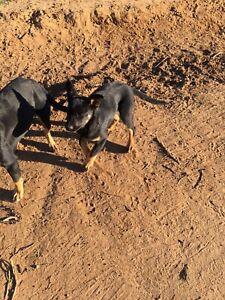 2 kelpie pups left