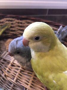 Bb perroquet quaker