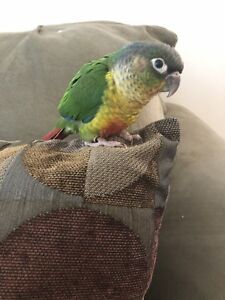 Cuddly banded baby conure
