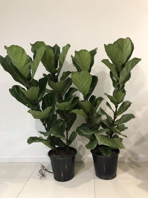 Beautiful Indoor Plants | Plants | Gumtree Australia Pine ...