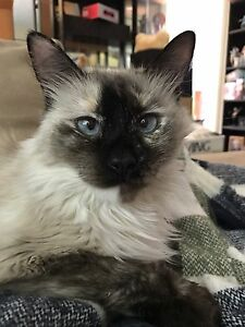 Siamese tortie looking for new home