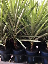 Yucca silver star Darch Wanneroo Area Preview