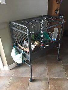 2 Male Guinea Pigs with everything you need!
