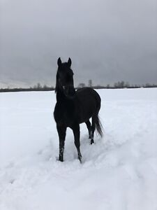 Thoroughbred filly for sale