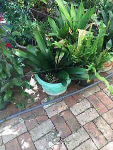 Cliveas plants for sale Rossmoyne Canning Area Preview