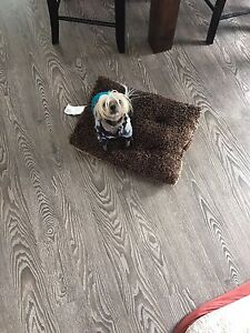 9 year old Chinese crested