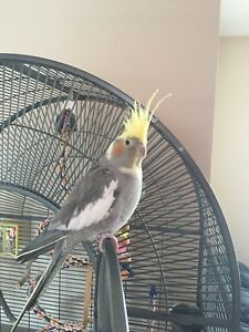 Gorgeous Very Hand Tame Female Cockatiel