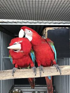 Mature bonded Greenwing Macaw Breeding Pair Strathpine Pine Rivers Area Preview