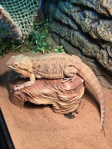 Bearded dragon