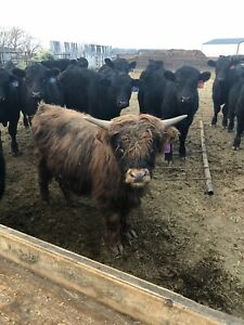 Looking for highland or miniature highland cattle