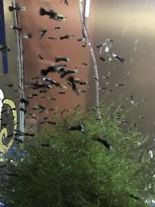 I have guppies and Java moss for sale