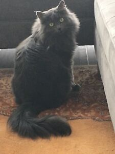 Persian/Russian Blue beauty - Free to a good home