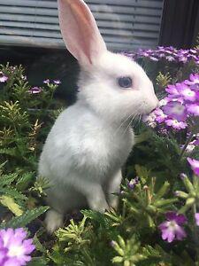 White Dwarf Bunny