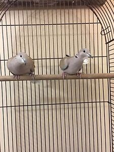 (ON HOLD) Beautiful Ringneck Doves