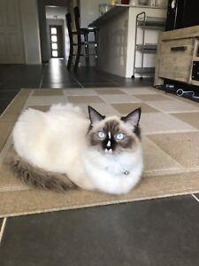 Pure Breed Ragdoll Kitten