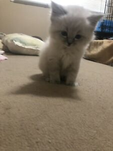 2 male Ragdoll kittens
