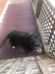 Free girl dog (sharlo) to good loving home | Dogs & Puppies | Gumtree