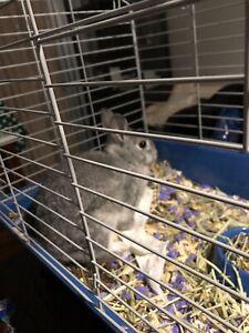 Dwarf Netherland bunny