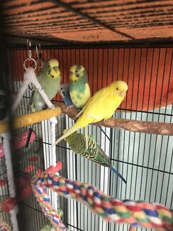 CHEAP!! $20ono Budgies