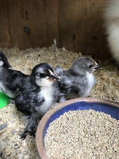 Belgian D'Uccle Chicks Mottled