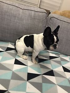 French bulldog puppy Brunswick East Moreland Area Preview
