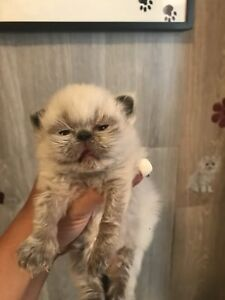 PURE BREED FEMALE SEAL POINT HIMALAYAN- FLAT FACE-