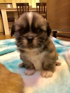 CKC Registered Tibetan Spaniel puppies