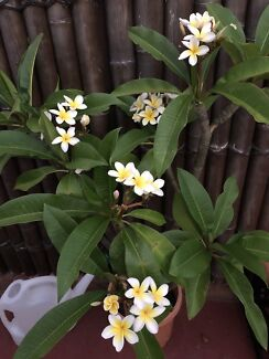 Beautiful Healthy Frangipani as Pictured