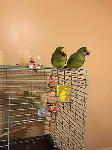 Handfed Peach Fronted Conures - extremely rare in Canada