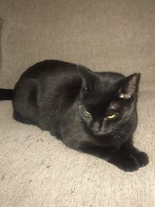 Giveaway Black Cat - 4 years old (desexed) Parkinson Brisbane South West Preview
