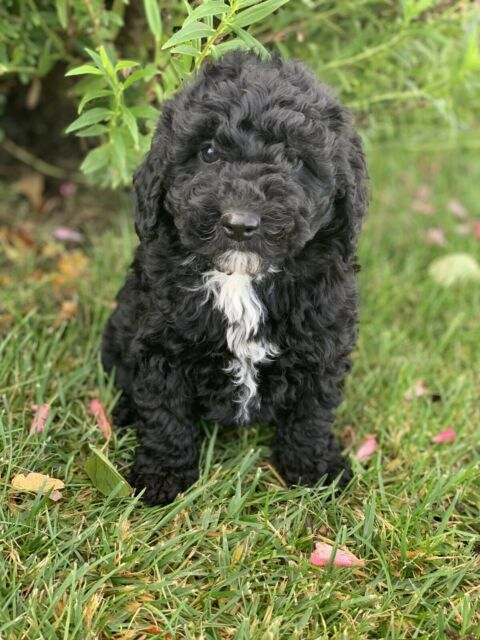 Sheepadoodle Puppy | Dogs & Puppies | Gumtree Australia Young