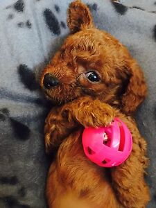 Adorable Tiny Toy Poodle Puppies