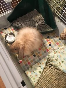 Lop bunny with cage, food and more