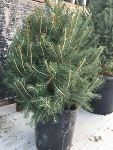 White Spruce Trees.  Ready to plant