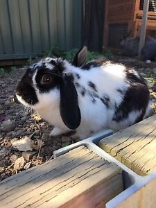 Female Lop eared rabbit, 12 months old - Greensborough Greensborough Banyule Area Preview