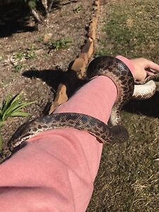 Spotted python - full grown Highfields Toowoomba Surrounds Preview