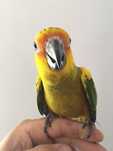 Baby sun conure Roxburgh Park Hume Area Preview